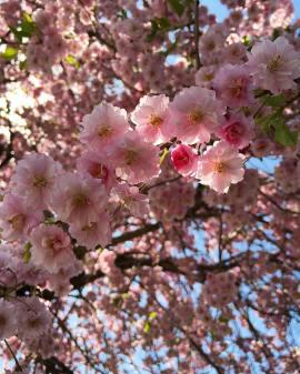 Cherry Blossom Japan Walk GumptionGrace.com